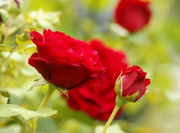 Red Roses for True Blue Friends