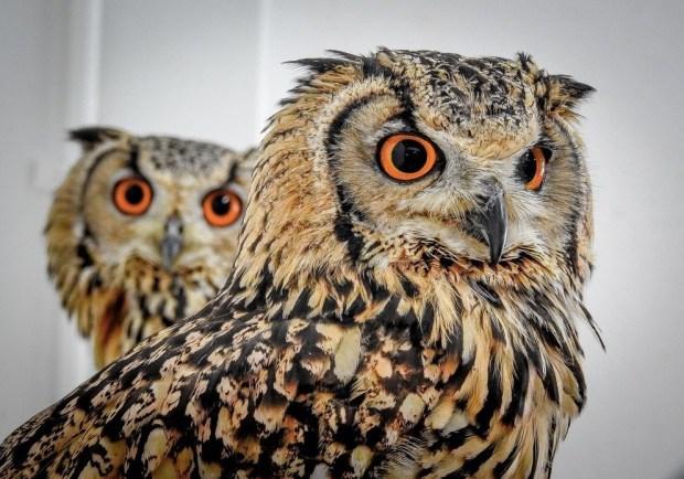Owl Hiroshima