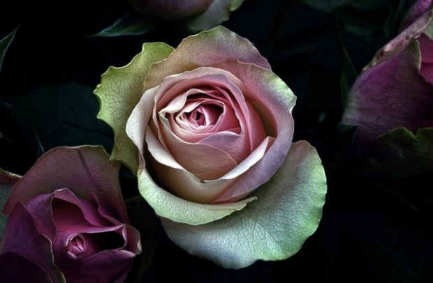 Pinkish Roses