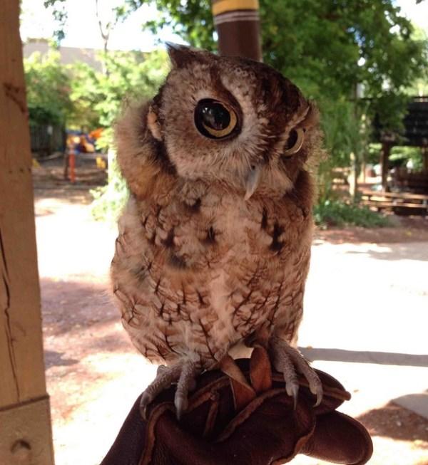 Skeptical little owl