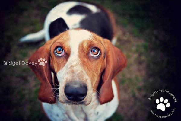 The Bassett Hound   Pet Photography Ampthill