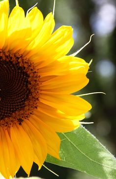 Sunflower4