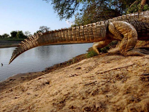 Crocodile by Camera Trap