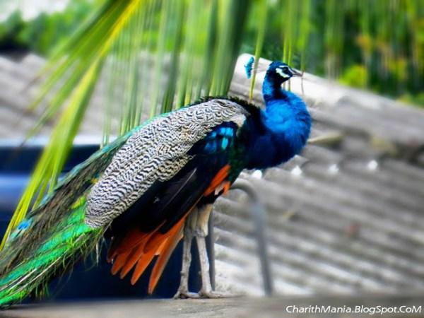 Peacock Sri Lanka