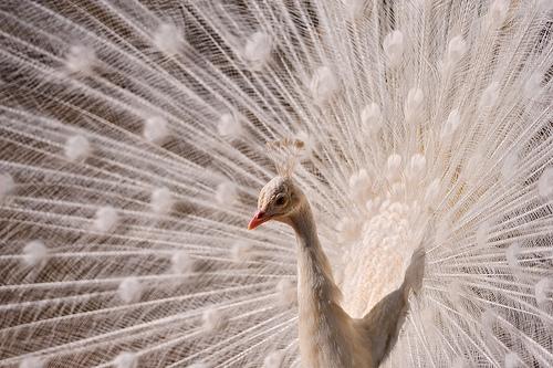 White peacock again by Tambako The Jaguar