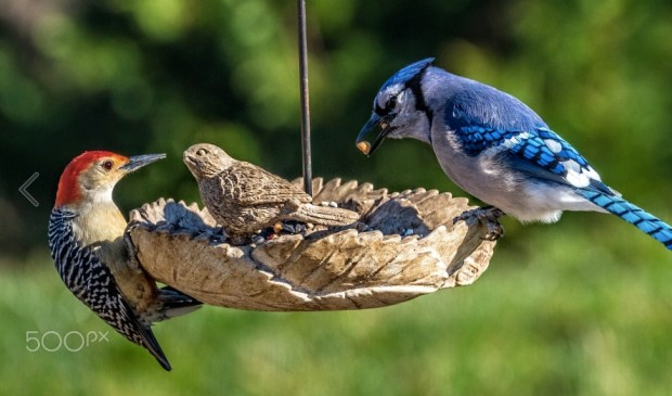 A blue jay and red bellied woodpecker enjoy a meal