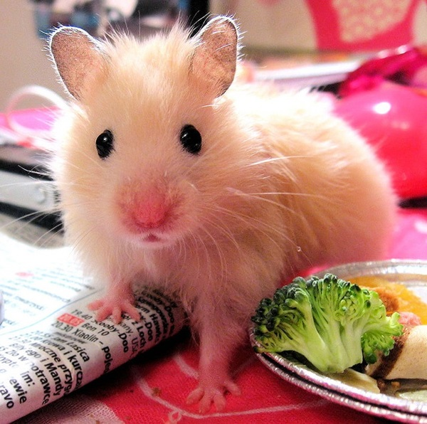 Pictures-of-Cute-Hamster-3