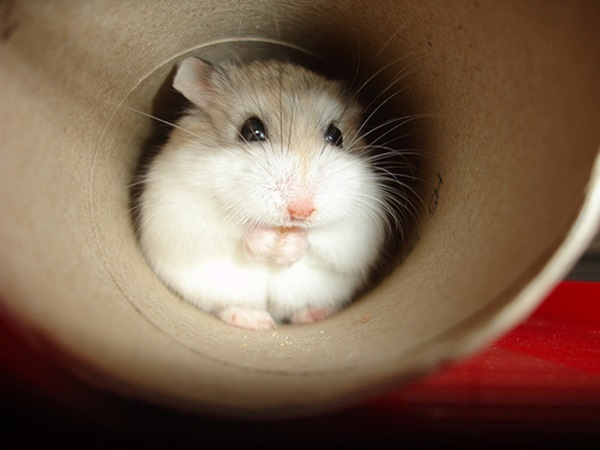 Pictures-of-Cute-Hamster-4