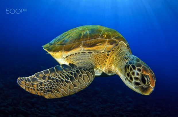 A Green Turtle