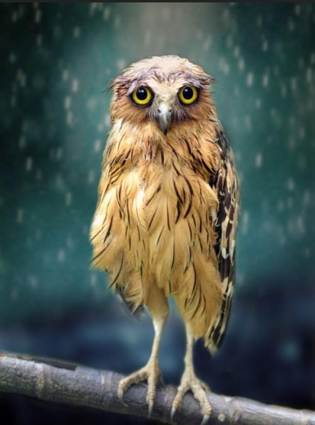 Wet Owl