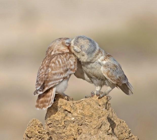 Little Owls in love
