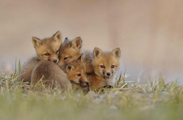 Fox-cubs after sunset
