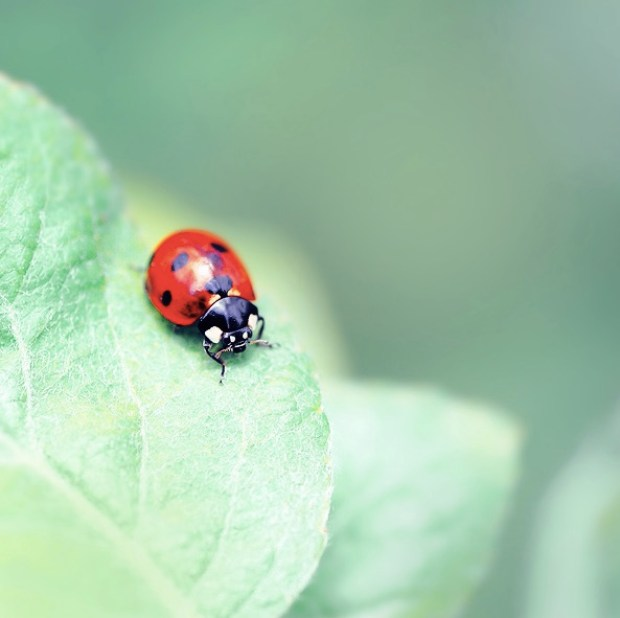 ladybug Megson