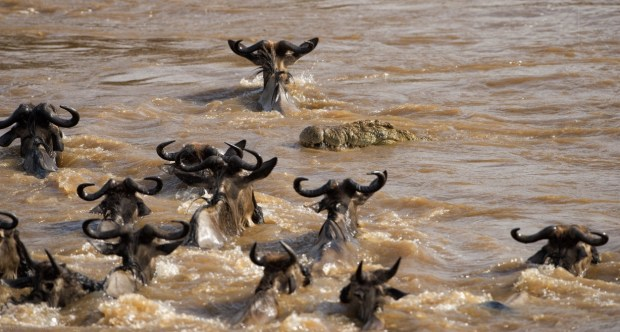 A massive crocodile in the Mara river (Kenya) swims into a group of wildebeest