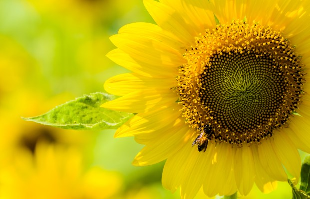 Sunflower and the bee | Nature Wallpaper