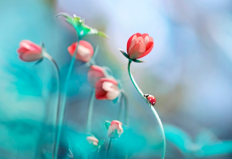 Beautiful pink flowers anemones and ladybug in spring nature outdoors against blue sky