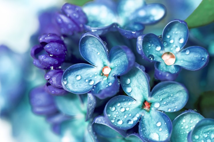 Blue lilac flowers closeup with water drops