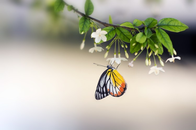 Lime butterfly collecting nectar from flower