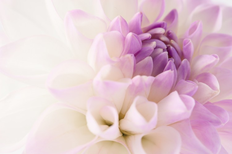 White dahlia with violet heart close-up
