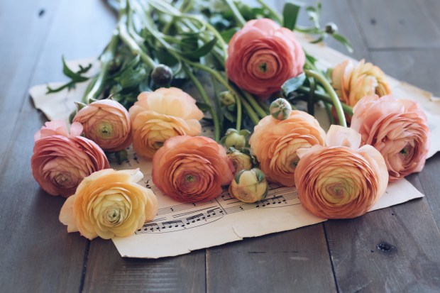 Ranunculus flowers laying on a sheet music