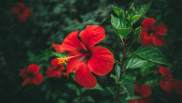 Red flowering Hibiscus