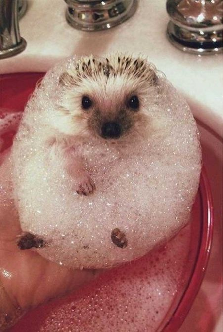 Picture Of Hedgehogs1