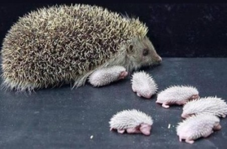 baby hedgehogs and their mother1