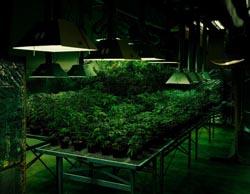 tarynsimon_cannabis_sm.jpg