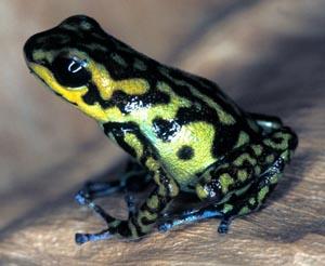 Vicentei_frog.jpg