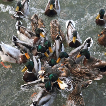 Stop Feeding Ducks Bread Cool Hunting