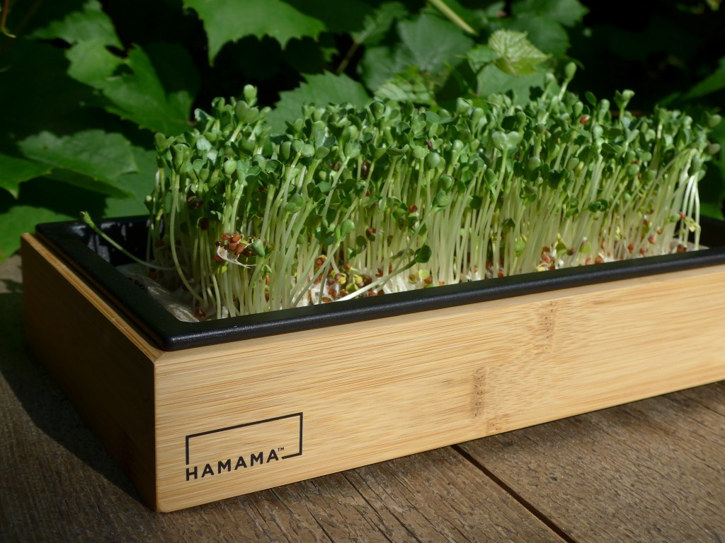 Quick and Easy Microgreens With Hamama's Home Gardening Kit - COOL