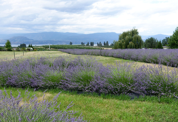 okanagan-lavender-farm.jpg