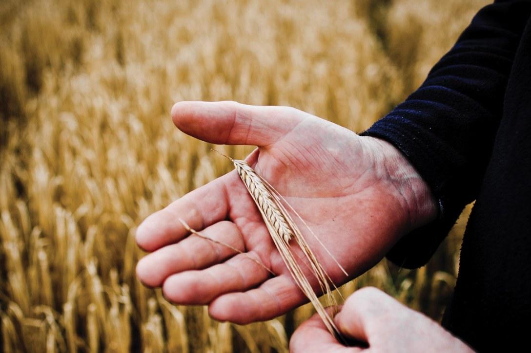 bruichladdich-islay-barley-wheat-hand.jpg