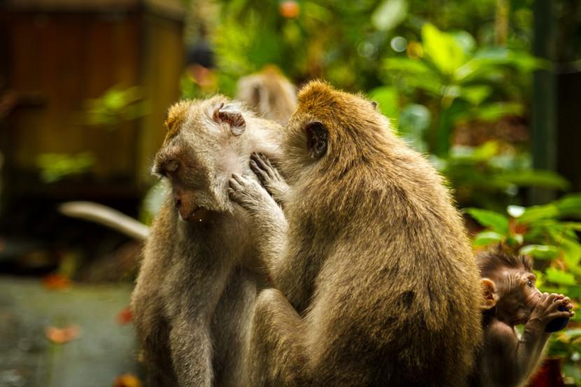 Monkeys in Malaysia
