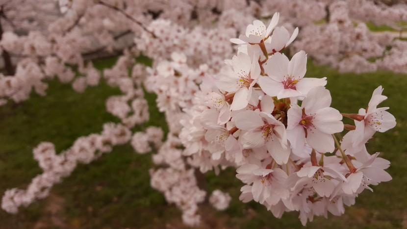 Japanese Cherry Blossoms