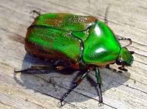 Despicable bug