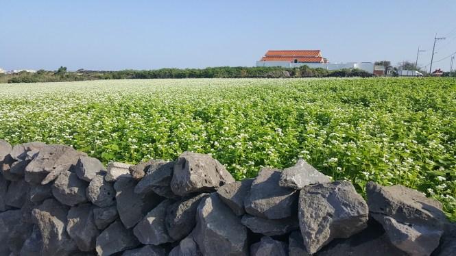 A buckwheat field