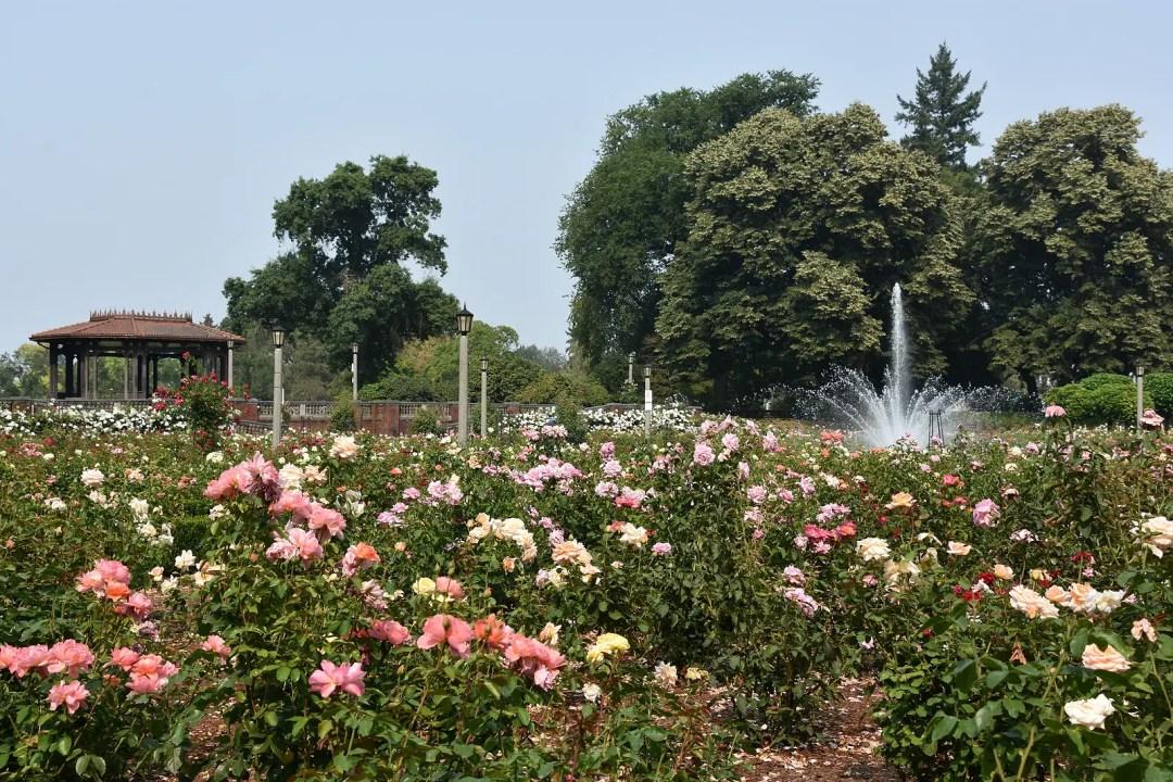 International Rose Test Garden by Cooper Dubois