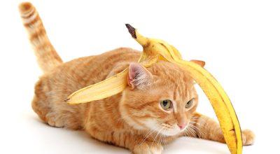cat with banana peel on head