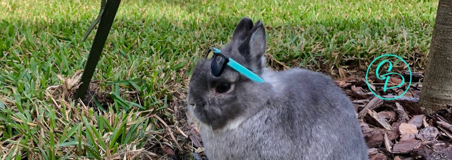 CCooper the Pooper - Grey Netherland Dwarf Rabbit - Sitting by a tree with teal and black sunglasses