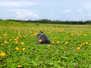 Cooper the Pooper - Grey Netherland Dwarf Rabbit - sitting in a field of yellow flowers