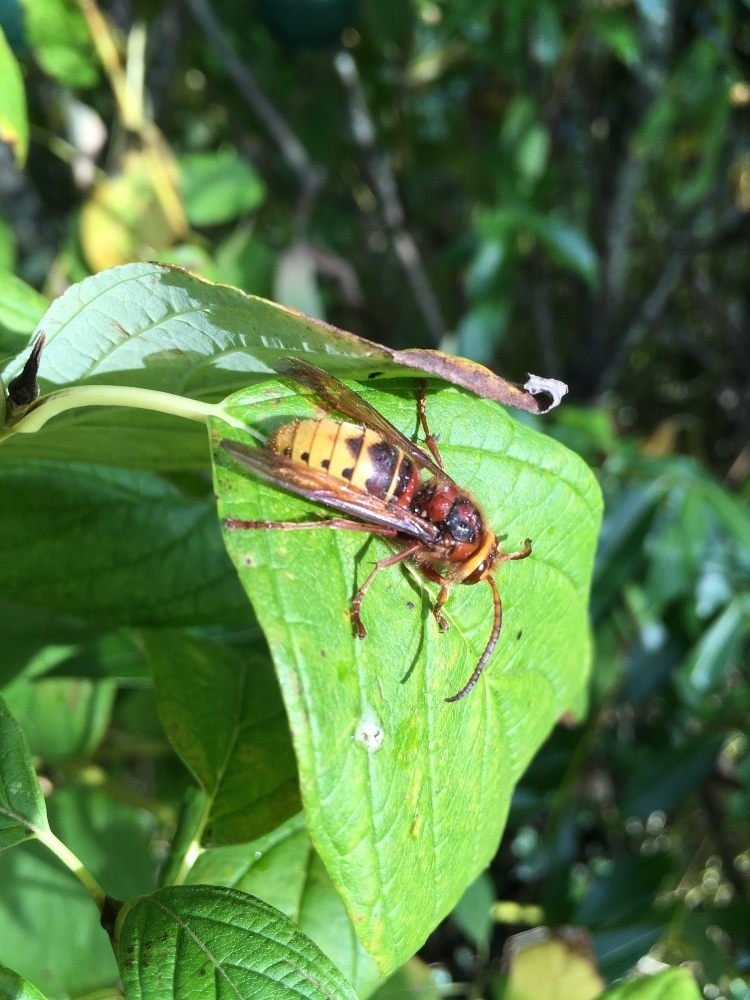 a hornet is resting on a big green leaf in the autmn sun