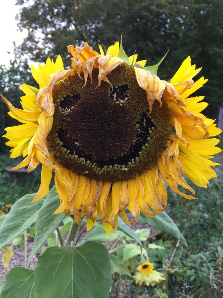 a big sunflower head in a fields, the centre has the seeds picked out in the shape of a smiley face