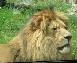 Unul dintre leii Grădinii Zoologice din București