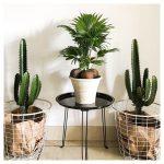 bon plan cactus lidl