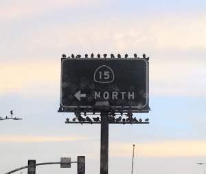 Photo of pigeons roosting on the I-15 North sign in City Heights