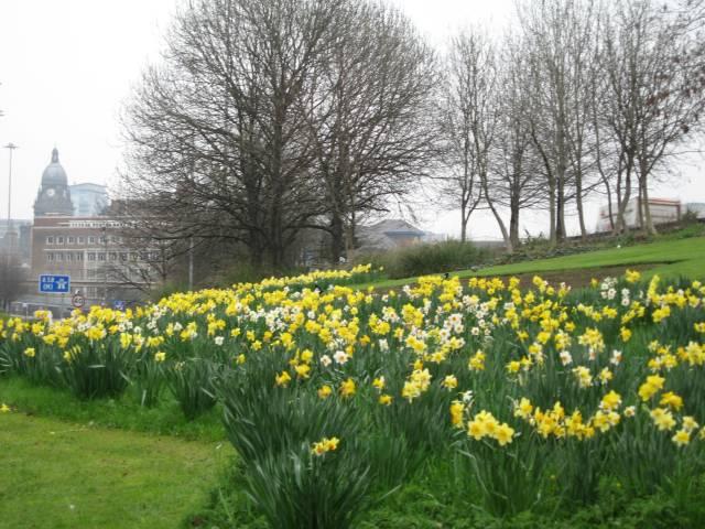 Daffoldils in Leeds