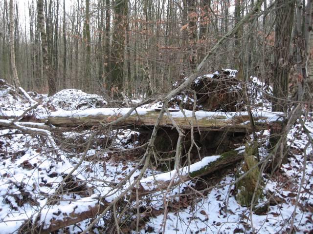Snowy dead trees