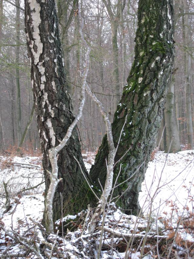 Snowy forked tree