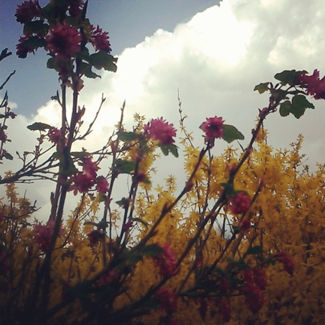 Forsythias and pink blossoms